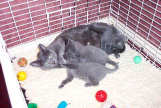 otis russian blue queen and kittens