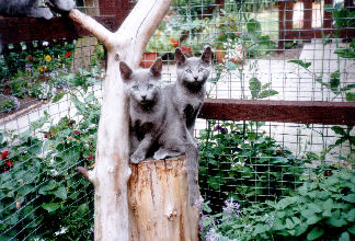 otis russian blue kittens